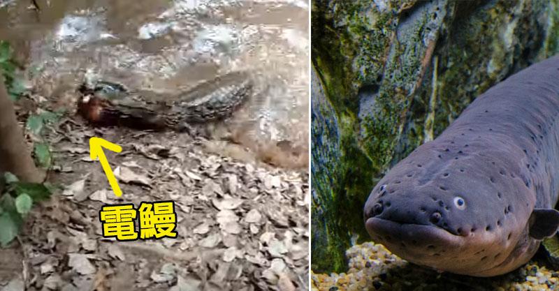 當超兇猛的鱷魚對上可電死人的電鰻,誰會贏?最後畫面讓人吃驚!