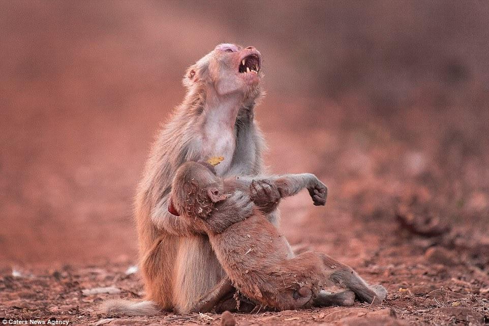 猴媽媽抱著「沒生命的孩子爆哭」照片震驚網路,拍完兩分鐘後另一波淚水噴出!