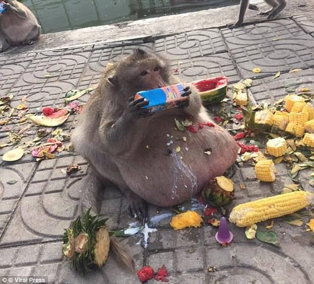 泰國27KG猴子「胖大叔」被手下孝敬餵太胖恐得糖尿病!最近被迫減肥「命運大逆轉」。