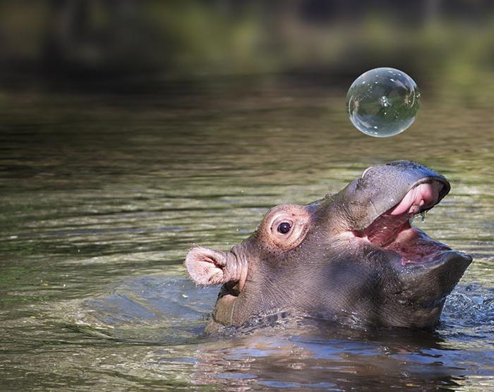 30張會讓你嘴角上揚的超可愛「河馬寶寶」照片!#8 咬「死」人從來不知道小河馬有這麼萌!