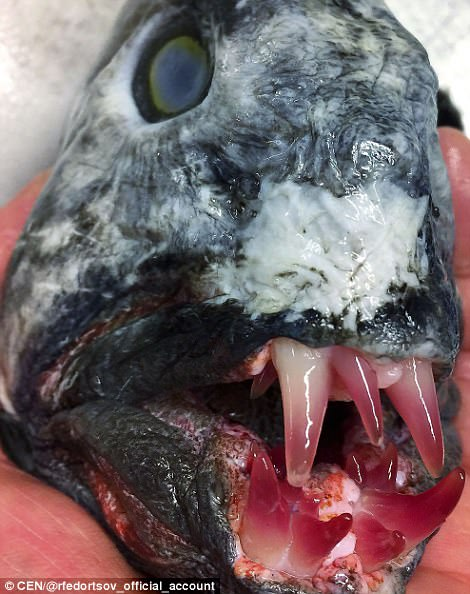 The Atlantic Wolffish (Anarhichadidae) hunts using lower and upper jaws equipped with four to six thick, fang-like, conical teeth preying on hardshell molluscs, crustaceans, and echinoderms