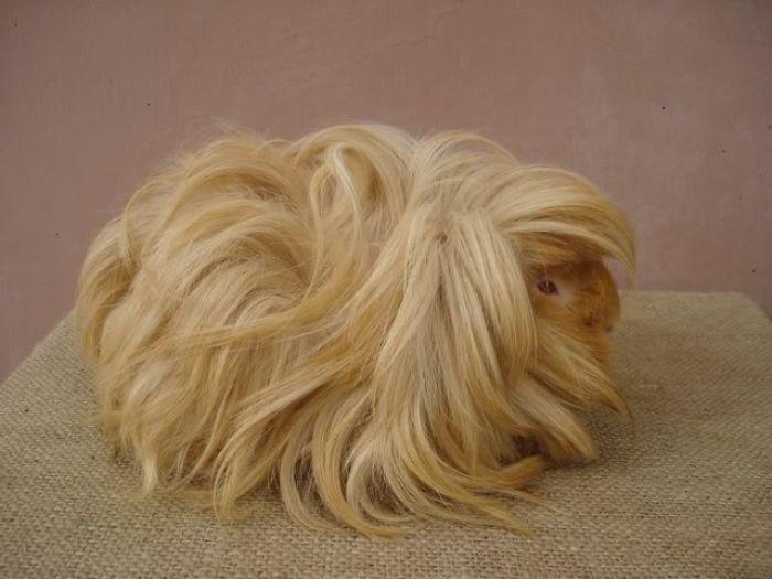 30張讓你嫉妒「為什麼我的頭髮不能這麼美?」的魔幻長髮天竺鼠照。