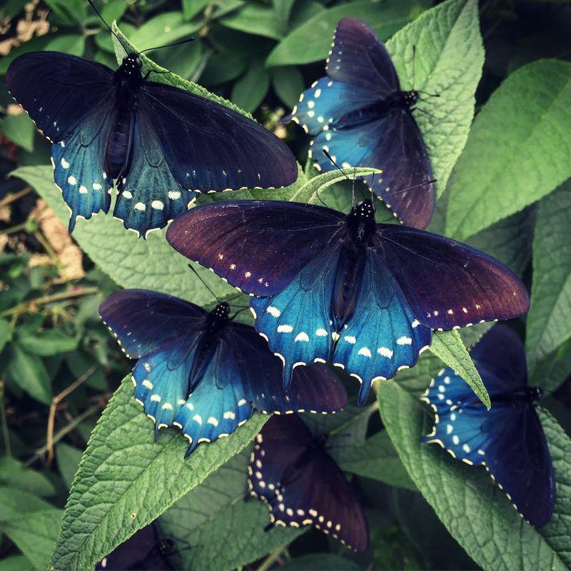 這種「全世界最美蝴蝶」原本已經絕種,這個男孩在自家後院「讓牠們復活」!