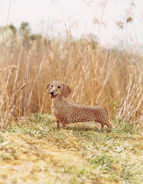 第一眼還以為是花豹,他是世界最稀有「花紋比特犬」!但看看他躺的地方...