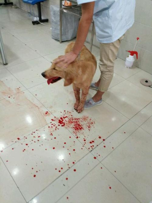狗狗電視機前突然慘叫一聲「狂吐血不止」,醫生查出「罪魁禍首」主人後悔死!
