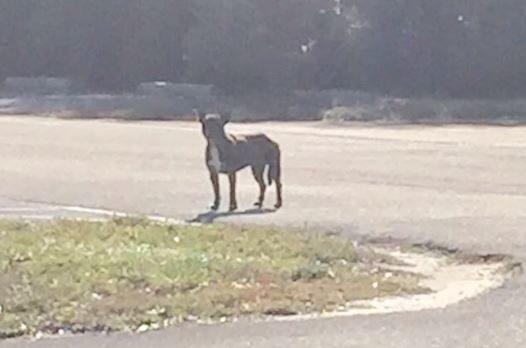 狗狗一直跑不肯讓想幫助的人抓到,當她被送往獸醫「拍X光後」醫生都要氣哭了!