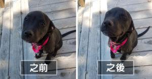 4月大小狗狗「讚她是乖寶寶」超萌之前 VS 之後對比圖。