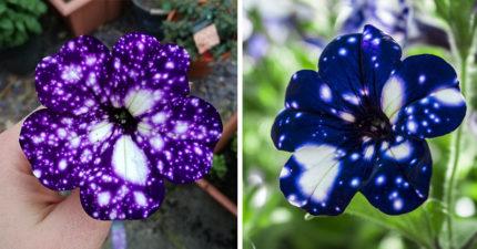 把整個「銀河印在花瓣上」的銀河花,一到晚上連星空都不用了! (13張)