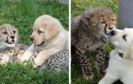 狗不是給他吃的!動物園從小就派拉拉天使跟獵豹作伴,這樣獵豹長大才會有「啪啪啪的自信」。