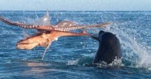 首次拍到120KG海豹 VS 巨型章魚對決!最後誰會贏?