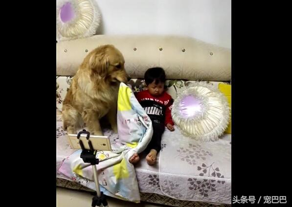 超萌黃金「拿手試探」發現小主人已經睡著,「立刻當最棒姐姐」讓網友噴淚!