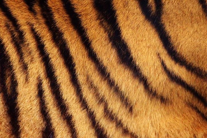 原來老虎的毛髮底下皮膚長這樣!剃毛後模樣會讓你再也回不去!
