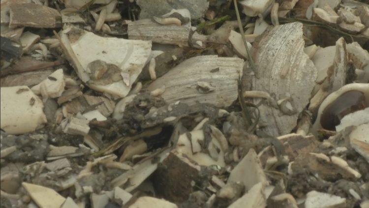 他突發奇想「用蛤蜊殼取代碎石」鋪路,幾天後「億萬生命誕生」臭到鄰居崩潰!