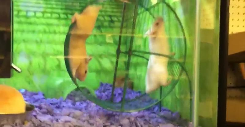 小倉鼠開始跑滾輪,另一隻追不上變成史上最悲劇...