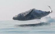 40頓重巨型座頭鯨以為自己是海豚跳起來玩耍,「下一幕」太驚人全球爆紅! (影片)