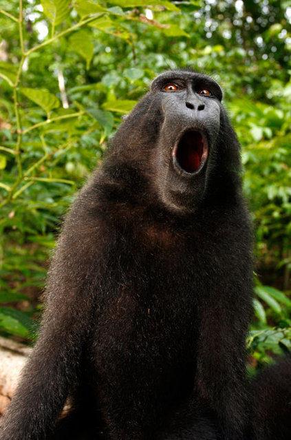 攝影師因這張「猴子自拍照」被告到破產!他:因為照片是猴子拍的