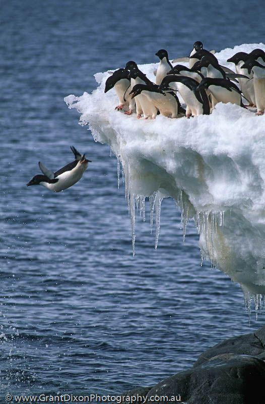 企鵝原來「心機超重」,趁不注意「踢發呆同伴下水」!「你先請」理由超自私!