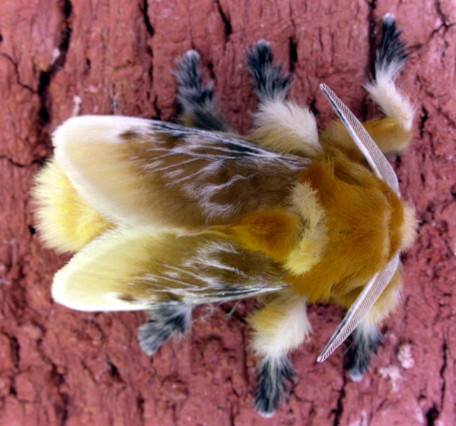 這不是川普的頭髮,是一種危險又罕見的生物「貓毛蟲」!蛻變後超美但絕不要碰!
