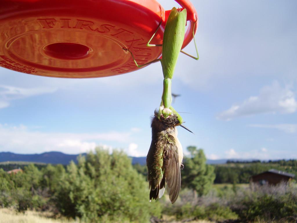全球螳螂「殭屍化」,小鳥遭砍頭切開「腦髓被吸光」!(影片)