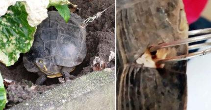 主人外出怕烏龜跑掉,龜殼上「狠穿洞綁鐵絲」!烏龜殼「跟人類皮膚一樣」痛死!