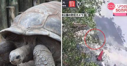 極速追緝令!巨龜從日本動物園逃脫,兩個禮拜後發現才逃了140公尺。