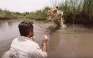 2隻母獅子「將他撲倒」以為他完蛋了,原來我們對獅子的誤會大了!