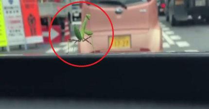 超可愛螳螂為了跟司機道謝,竟在擋風玻璃上開始「跳舞」9萬個讚! (影片)