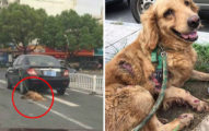 黃金獵犬被「綁在車門上拖行」全身裂開,司機稱:「不知道有狗...」