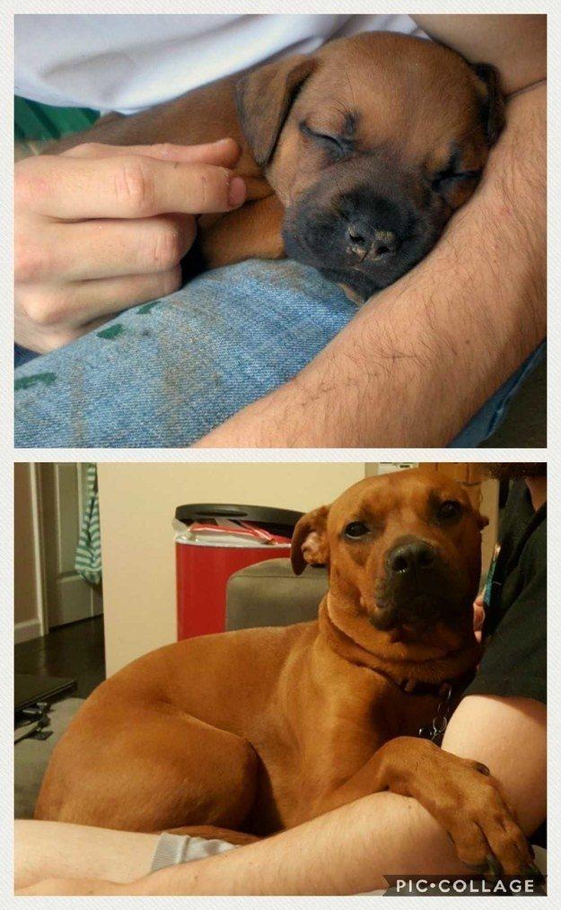 36張讓人心臟受不了的「狗狗比人類珍貴」超萌狗狗長大前後比對照!
