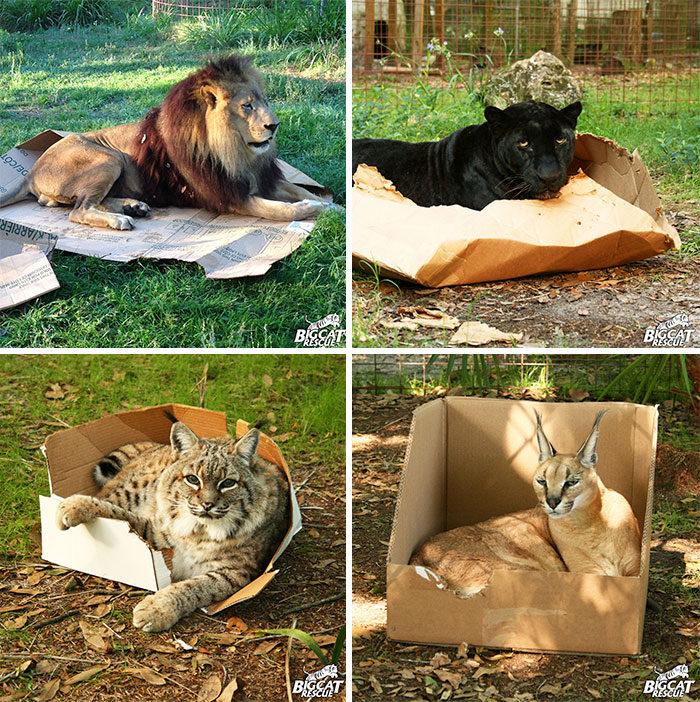 30張證明給無知的人類看「死了都要塞」的爆笑喵星人!#5 超大型的貓類都同一副德性...