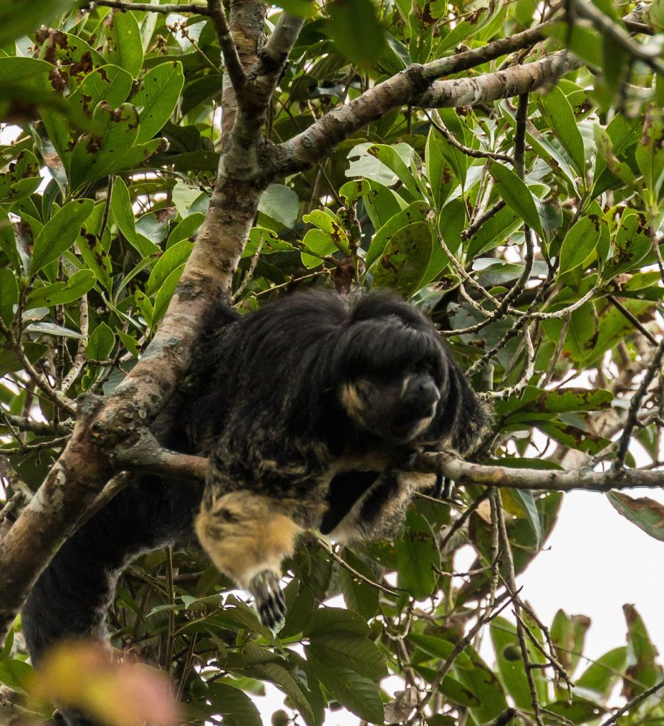 大家都以為他們死光!超罕見「僧面猴」消失80年,最近霸氣現身「證明自己沒有絕種」!