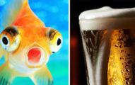 太冷的時候,金魚�以「變�酒廠�讓自己長命百歲�