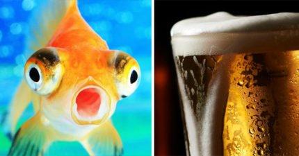太冷的時候,金魚可以「變成酒廠」讓自己長命百歲!
