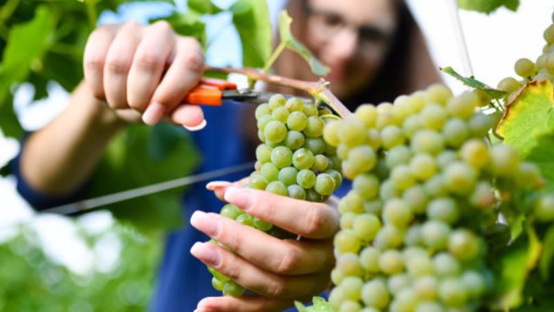 西班牙種出讓世人對生命改觀的「棉花糖口味葡萄」!將會改變小孩飲食習慣!