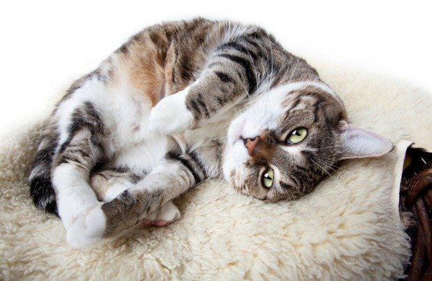 當貓磨蹭你的腳是什麼意思?15個專家破解出來的「喵星人肢體語言」!#9 當不把大便埋起來時要小心....