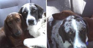 這隻狗狗被領養時「拒絕丟下她最好的朋友」,7年後主人認為「一次領養2隻」是最美好的決定!