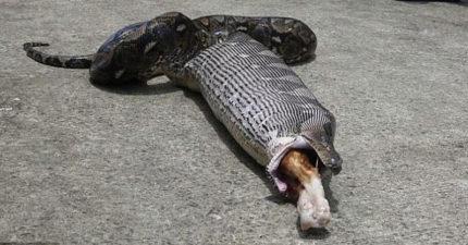 回家後驚見「超巨大蟒蛇」,嘴裡居然是家裡心愛貓咪的腳!