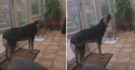 這隻狗狗在家「練習唱歌、抖音」,好聽程度爆表!網友驚:「瑪麗亞凱莉都跪了!」