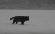 他在阿拉斯加度假「一匹狼」往他家走過來,他的狗衝了過去...網友:也太洋蔥了吧?