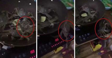 4隻螃蟹遭沸水活煮快死掉,牠爬出熱鍋「鉗子一扭關爐火」拯救同伴!(影片)