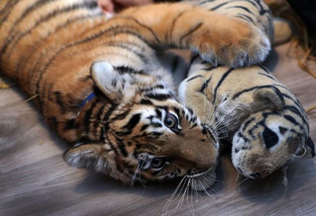 超萌西伯利亞小幼虎慘遭親媽拋棄,被收養後變身超愛撒嬌的可愛大貓咪!