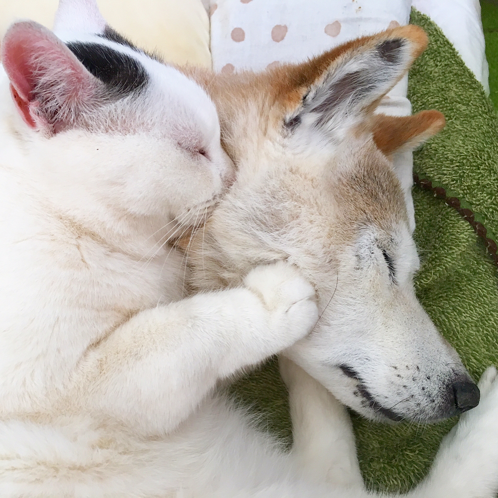就是要和你在一起!老柴犬罹患「失智症」貓咪死守身邊,「抱著睡覺的模樣」暖哭所有人!