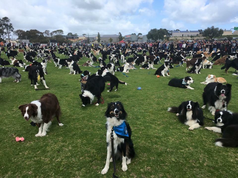 公園被邊境牧羊犬佔領!「600隻邊邊傻笑畫面」萌到破世界紀錄!(圖片)