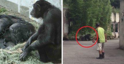 北市動物園「黑猩猩」越獄!逛園區達半個小時見「討厭的獸醫」才爬回家...(影片)