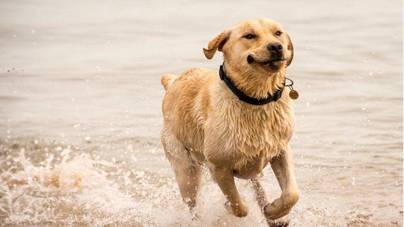 養拉不拉多犬的人要小心了!研究指出他們有燒錢的「吃貨基因!」