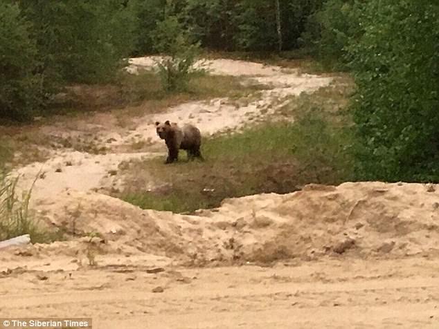 男子被飢餓棕熊襲擊「吃光內臟」,脊椎都外露還被放置樹枝「做記號」!
