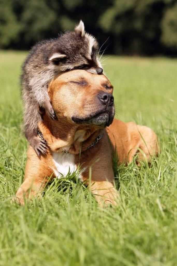 30張會超越小貓小狗「狠奪最可愛寵物地位」的爆萌浣熊!