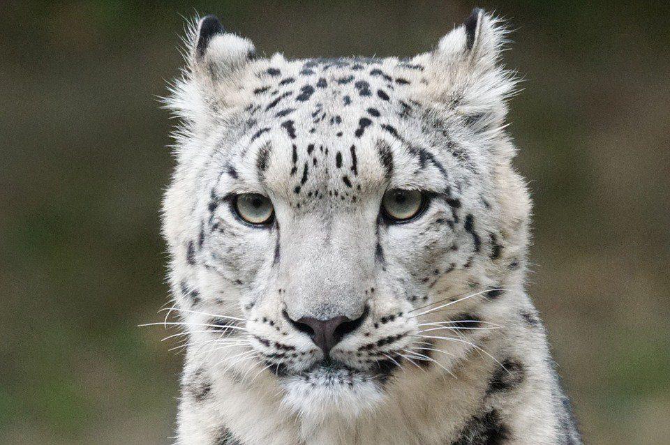 生態保護的一大步!45年後終於宣布原本「瀕危」的雪豹已擺脫絕種危機!但讓毛皮盜獵者樂翻了