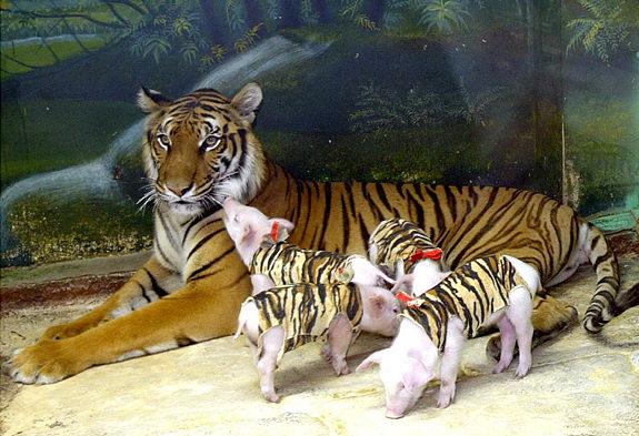 動物園「把小豬扮成虎寶寶」安慰喪子虎媽 超溫馨畫面被揭穿