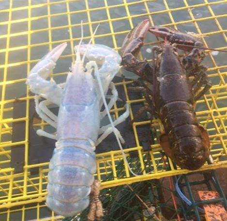 美國漁夫補到超罕見「半透明龍蝦」,「龍蝦已懷孕」忍痛拍照說掰掰!